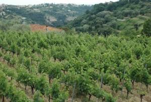 vignes bellet 2