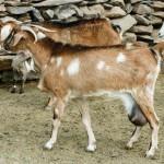 Majorera-Goats