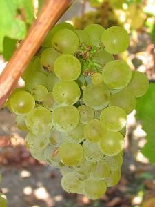 450px-Sauvignon_blanc_grapes